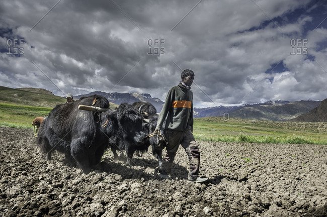 People plowing field with yaks in Himalayas