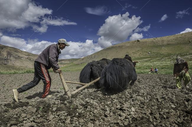 Farmers using yaks to plow field in Himalayas