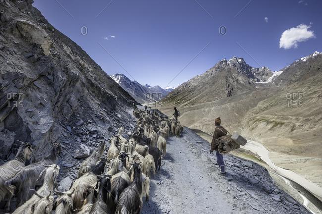 Farmers herding goats in Indian Himalayas