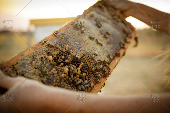 Close up of woman holding a honeycomb with honey bees on it