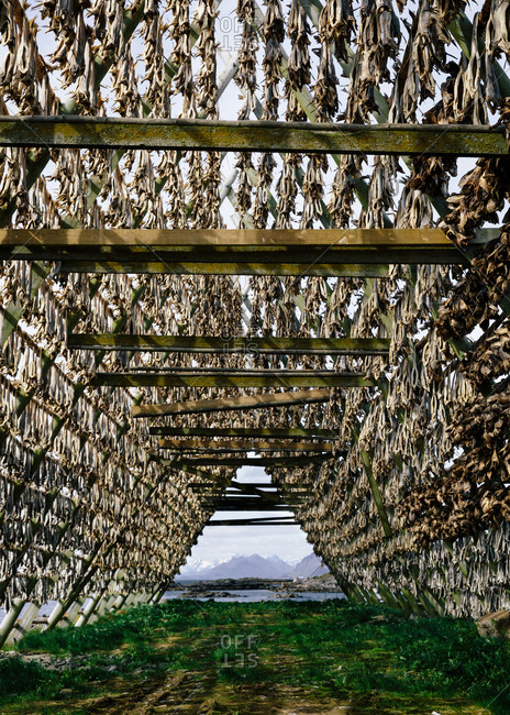 Fish drying in traditional Norwegian structure