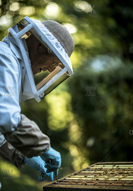 Beekeeper checking on frames inside a beehive