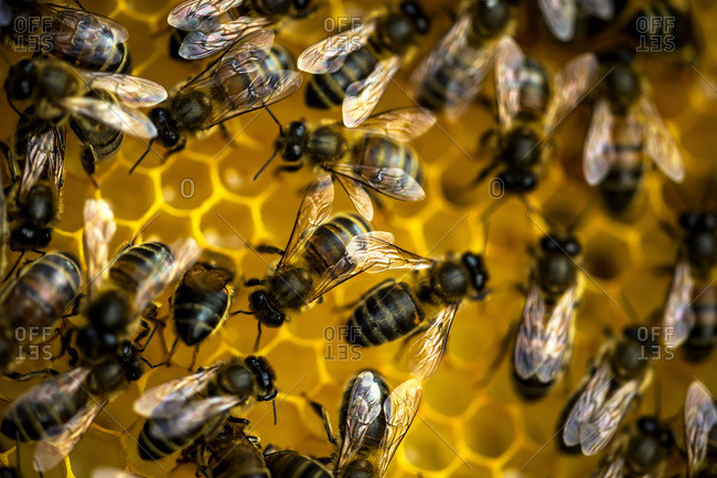 Close up of honeycomb and honeybees