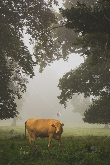 Highland cow among foggy trees