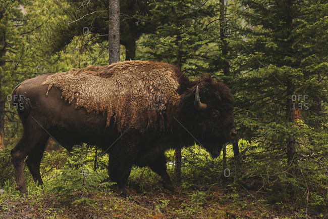 Buffalo in the forest, Yellowstone National Park, WY