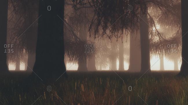 Dense pine forest in mist