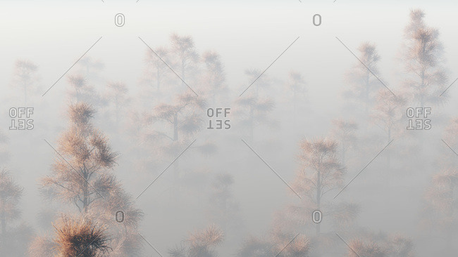 Tops of pine trees appear through fog
