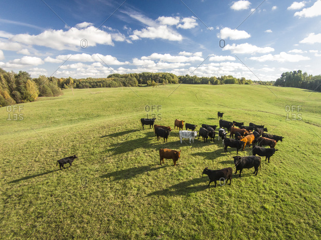 Aerial view of heard of bulls in Lithuania