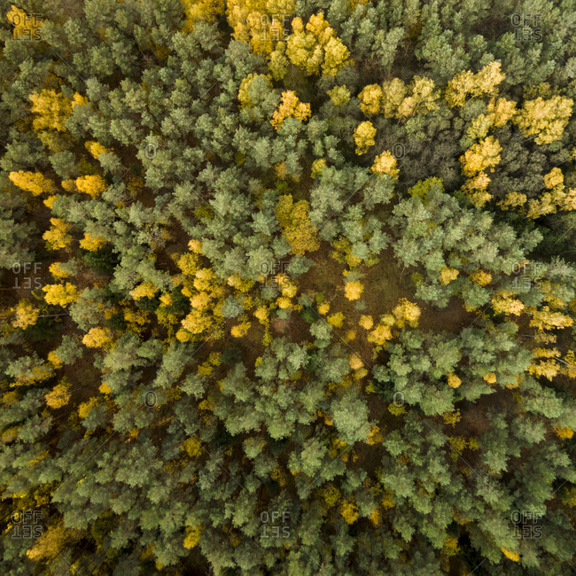Aerial view of color changing forest in Lithuania