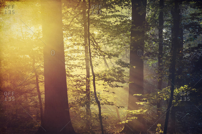 Deciduous forest and morning sun in autumn