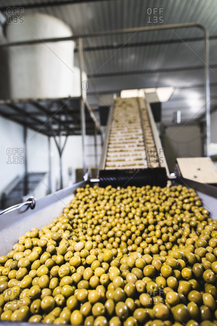Conveyor belt with olives in food processing plant