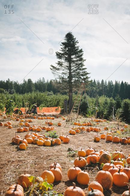 Pumpkins in a rural patch