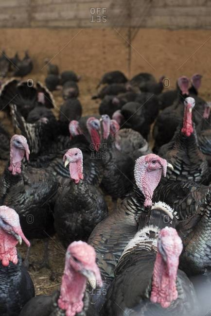 Flock of Red Bourbon Turkeys