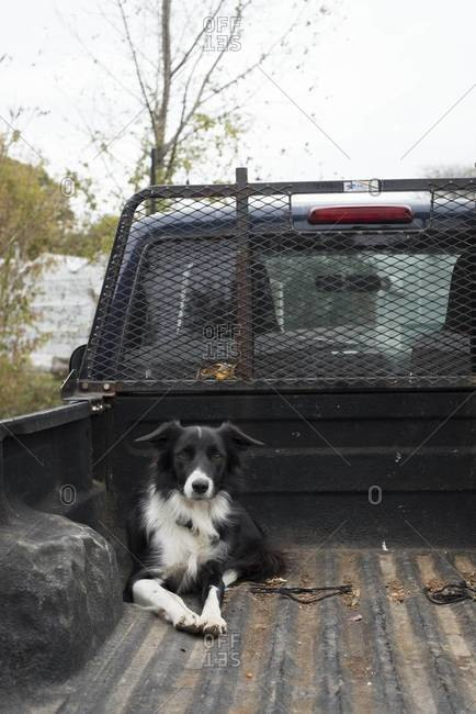 Border Collie in the back of a pick up truck