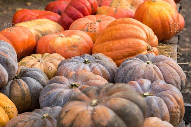 Varieties of pumpkins at a pumpkin patch