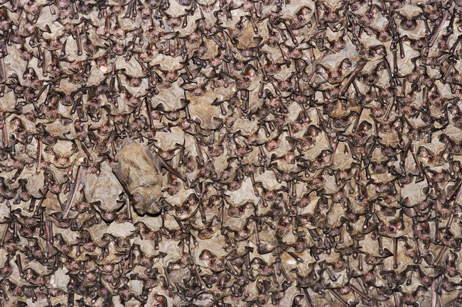 Mexican Free-Tailed Bats Roosting
