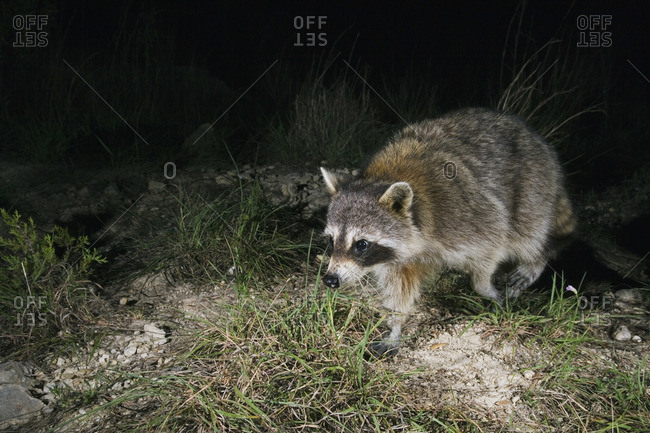 Raccoon at Night - Offset Collection