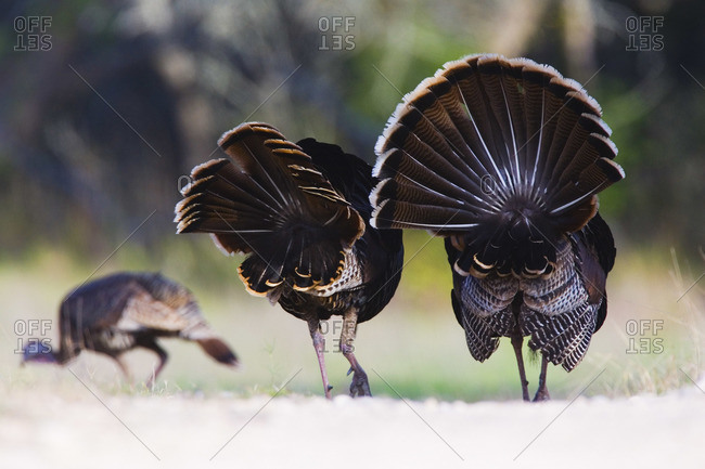 Male Rio Grande Wild Turkeys Following Female