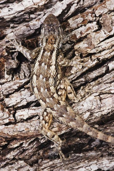 Texas Spiny Lizard on Tree