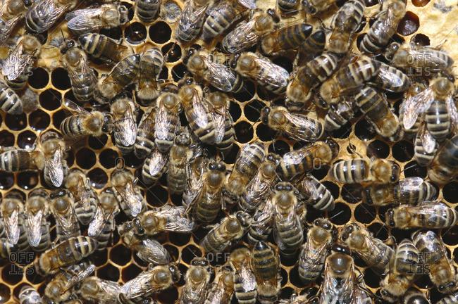 Honeybees in Honeycomb
