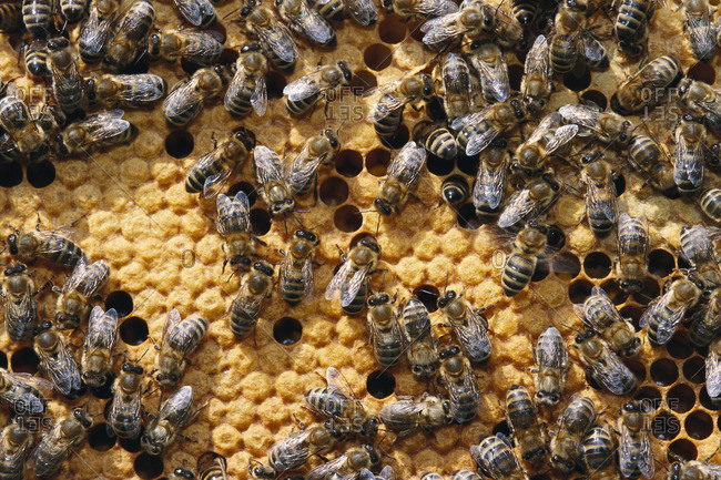 Honeybees in Honeycomb