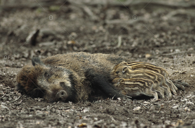 Mother Boar Feeding Babies