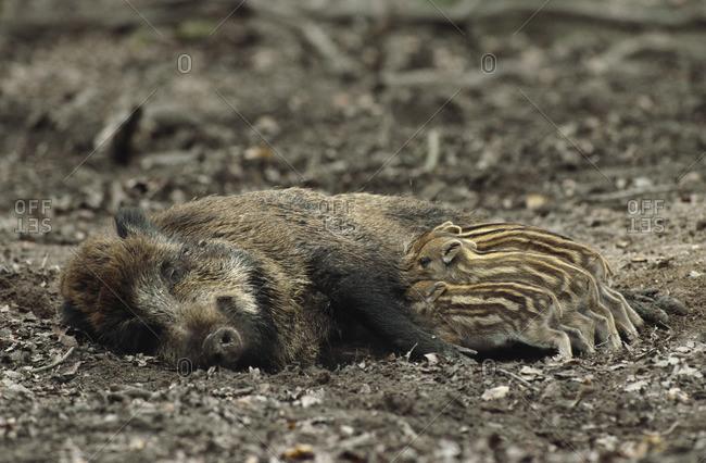 Mother Boar Feeding Babies