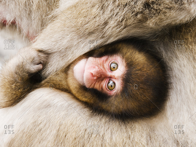 Portrait of Baby Japanese Macaque