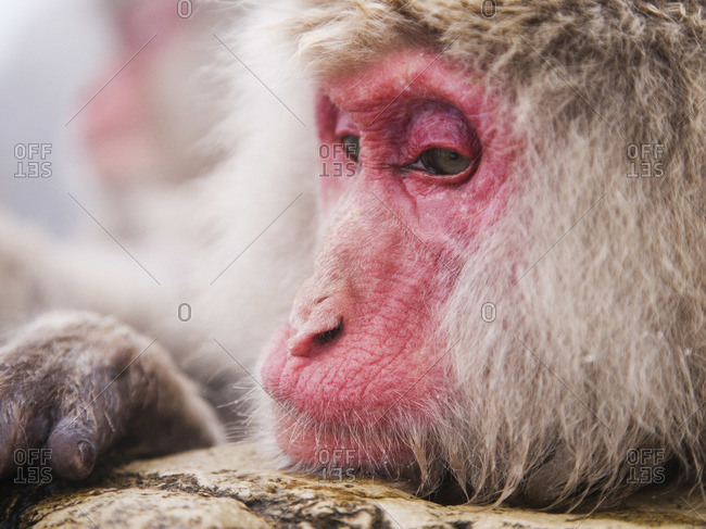 Portrait of Japanese Macaque