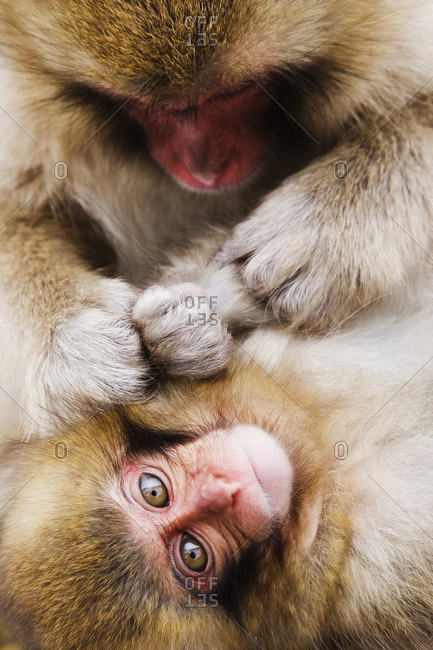 Mother Japanese Macaque Grooming Baby