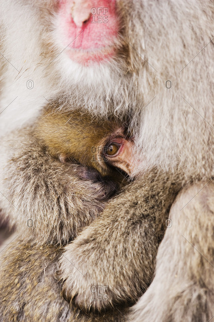 Mother and Baby Japanese Macaque