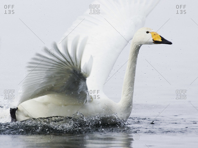 Whooper Swan Landing in Water