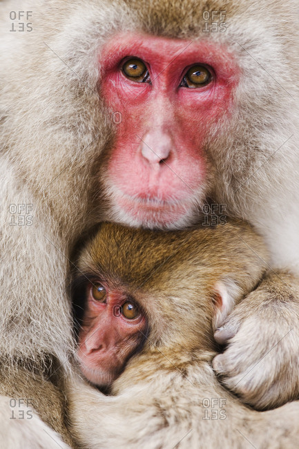 Portrait of Mother and Baby Japanese Macaques