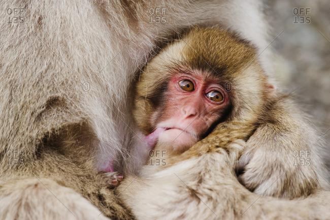Japanese Macaque Nursing Baby