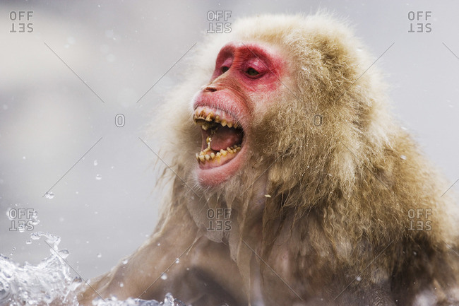 Japanese Macaque Yelling - Offset Collection