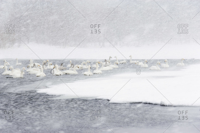 Whooper Swans in Show Storm on Lake Kussharo, Hokkaido, Japan