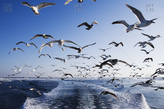 Seagulls Following Boat, Nemuro Channel, Shiretoko Peninsula, Hokkaido, Japan
