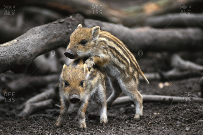 Baby Boars Playing