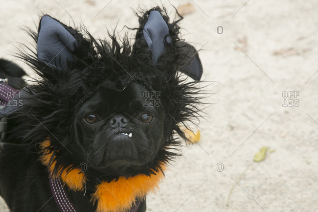 Vampire pug at the 25th Annual Halloween Pet Parade in New York City's Tompkins Square Park
