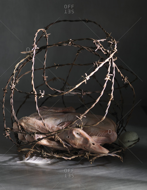 Dead and skinned goose, in a barbed wire basket