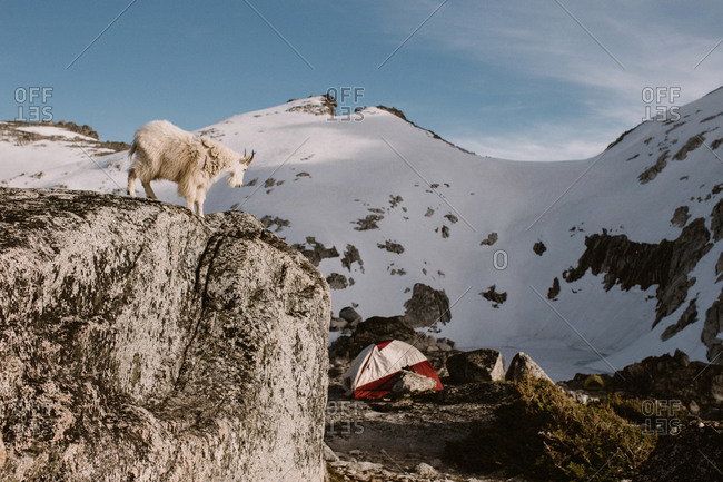 Mountain goat looking over cliff down at a camper's tent, Colchuck Lake, WA