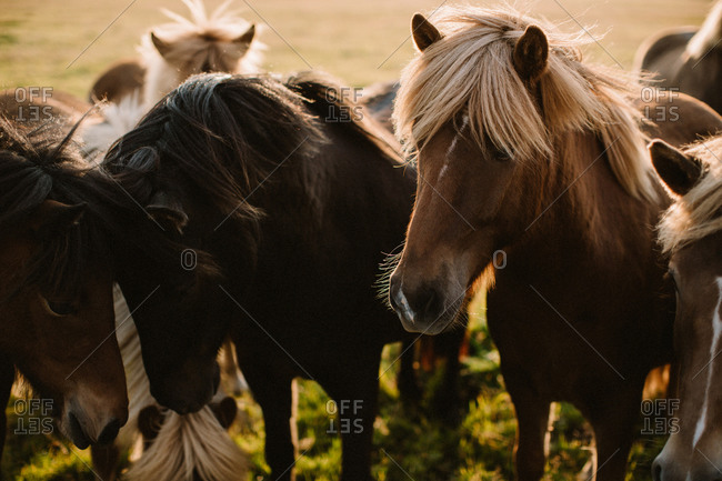Close up of a group of wild horses
