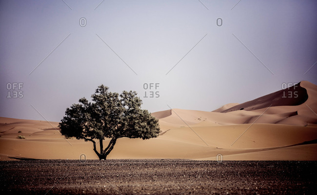Tree and sand dunes in Morocco