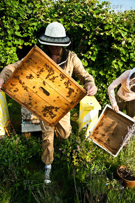 Beekeepers removing be-covered lid from a beehive