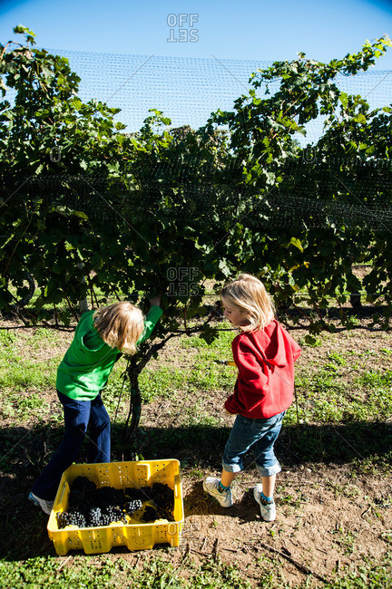 Alvahs Lane, Cutchogue, NY, USA - October 10, 2010: Children harvesting grapes from a vineyard in Cutchogue, NY