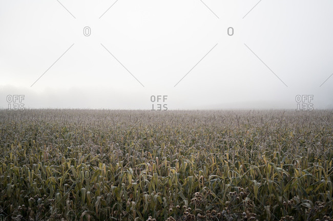 Cornfield on a cold damp day