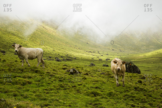 Cows grazing at Corvo cauldron. Azores, Portugal