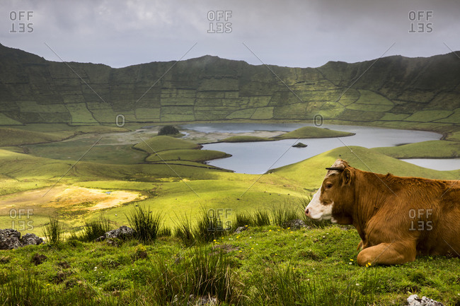 Cow and Caldeirao, Corvo Island, Azores, Portugal