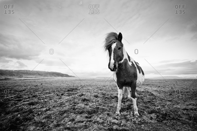 An Icelandic Horse standing in a field
