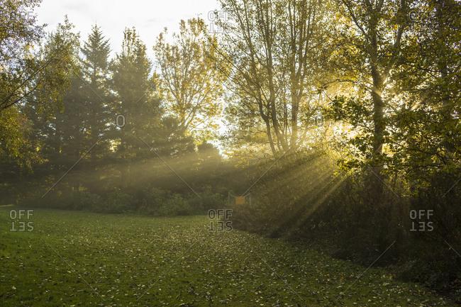 Sunbeams through trees in Iceland